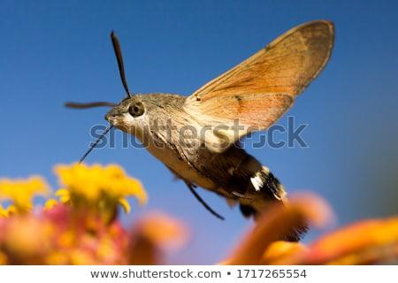 Hummingbird нектар саду лет животного Сток-фото © Hofmeester