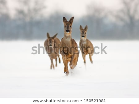 roe deer doe running Stock photo © taviphoto