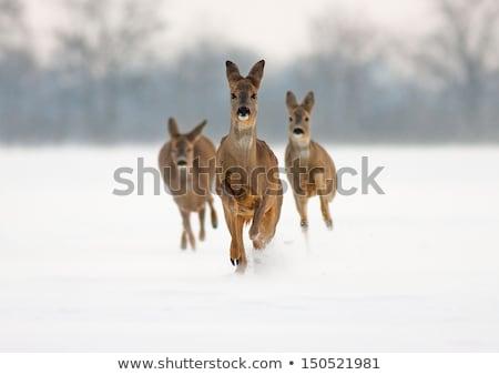 Stock photo: roe deer doe running