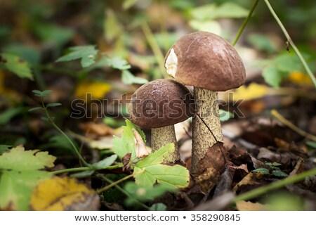 Dwa brązowy cap borowik surowy grzyby Zdjęcia stock © zhekos