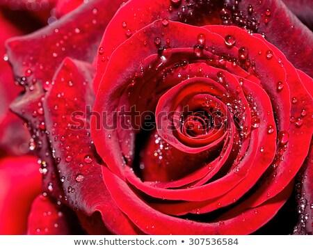 wet rose flower closeup stock photo © prill