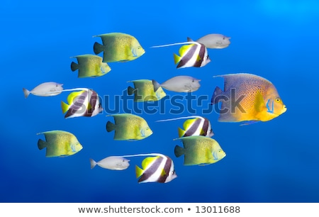 big angelfish leading group of angelfish Stock photo © designsstock