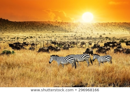 wildebeests gnu on african savanna kenya stock photo © photocreo