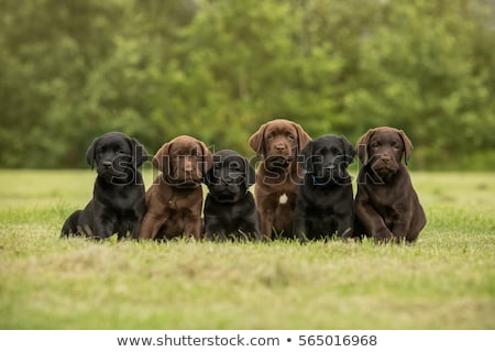 Twee chocolade labrador retriever puppies week oude Stockfoto © silense