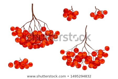 Branch of rowanberry Stock photo © hraska
