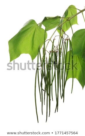 孤立した · 落葉性の · ツリー · 白 · 木材 · 緑 - ストックフォト © zerbor