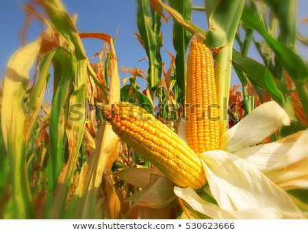 ripe corn field Stock photo © alex_grichenko