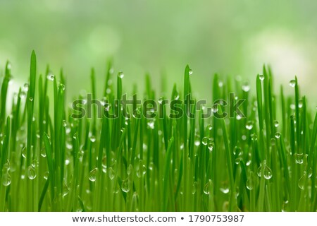 young grass Stock photo © taden