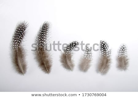 Small feather isolated stock photo © michaklootwijk