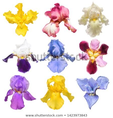 Iris · fiore · di · campo · verde · impianto · bianco · prato - foto d'archivio © zhekos