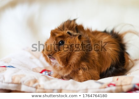 eating peruvian guinea pig stock photo © cynoclub