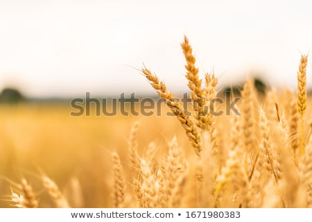 sunset on field at summer. ears of wheat sun against Stock photo © mycola