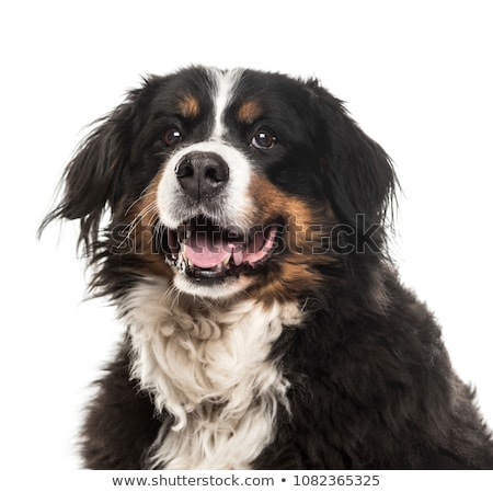 bernese moutain dog stock photo © cynoclub