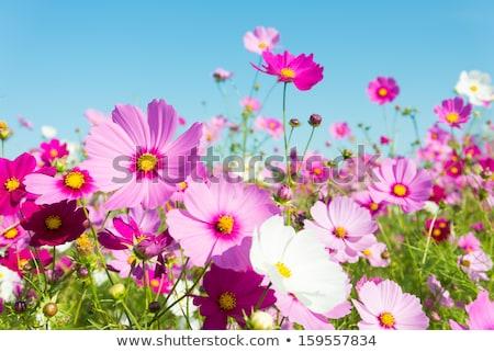 blanche · fleurs · prairie · printemps · soleil - photo stock © nejron