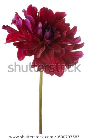 Stock photo: Large Red Dahlia Flower