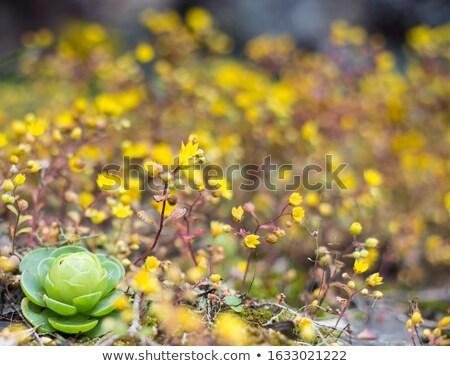 Fleur soleil jardin fond vert étage Photo stock © rabel