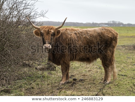 old mammal galloway cow with horns Stock photo © compuinfoto