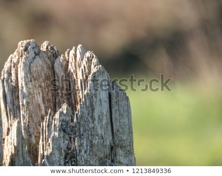 worn wooden post with barb wire and mold Stock photo © Melvin07