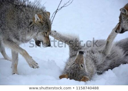 волка · Pack · возбужденный · группа · серый - Сток-фото © jeffmcgraw