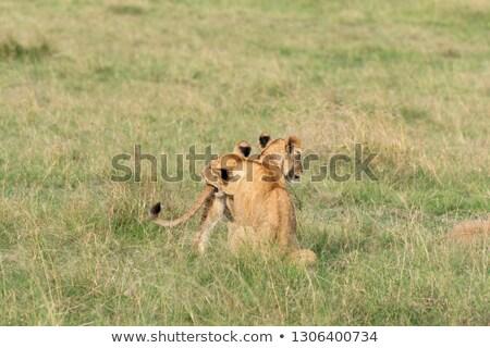 bebek · park · Kenya · Afrika · aslan · Afrika - stok fotoğraf © master1305
