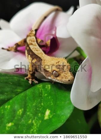 ヤモリ 蘭 紫色 花 顔 トカゲ ストックフォト © jeffmcgraw