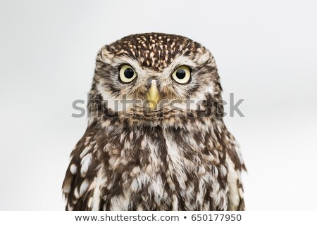 gazing owl stock photo © jrstock