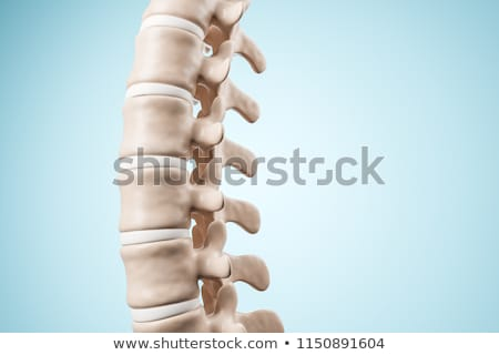 Human Vertebrae Anatomy Stock photo © bluering