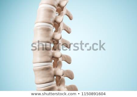 human vertebrae anatomy stock photo © bluering