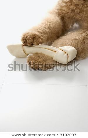 Goldendoodle dog paws holding bone. stock photo © iofoto