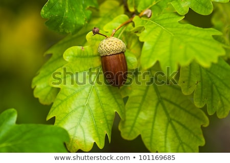 oak tree acorn nut stock photo © stevanovicigor
