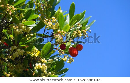 arbutus flowers and leaves stock photo © compuinfoto