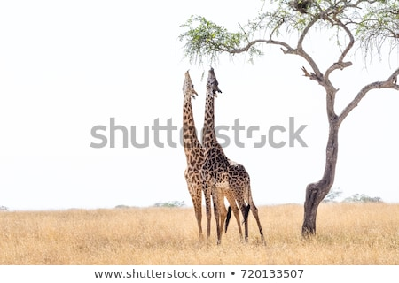 Giraffe Pair Stock photo © zambezi