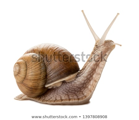 brown snail stock photo © derocz