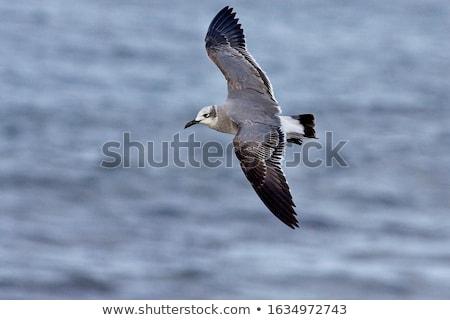 Juvenilis nevet repülés perem öböl part Stock fotó © brianguest