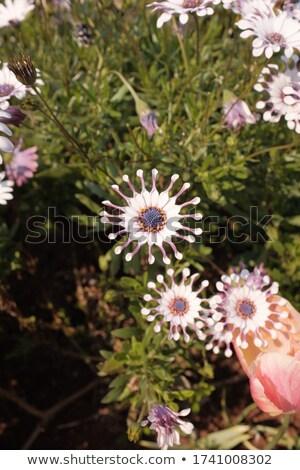 Daisy · kwiaty · kroplami · wody · biały · kwiat - zdjęcia stock © asturianu