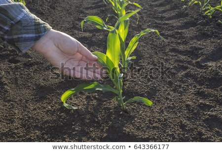 Young corn crops stalk Stock photo © ldambies