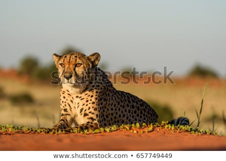 a cheetah running in the desert stock photo © bluering