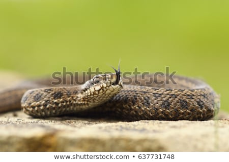 venomous juvenile Vipera ursinii rakosiensis preparing to strike Stock photo © taviphoto