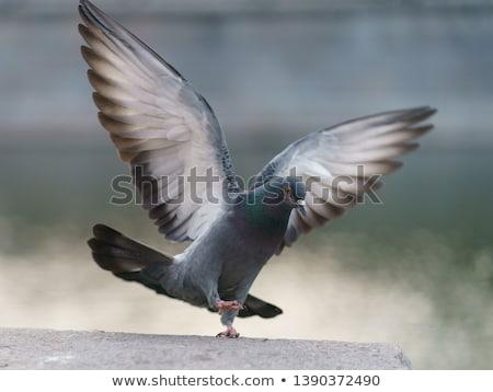 Battant parc groupe animaux pigeon vol Photo stock © MikhailMishchenko