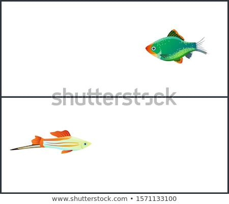 Green Tiger Barb, Swordtail Fish Isolated on White Stock photo © robuart
