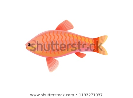 Jewel Cichlid Red Small Fish Vector Illustration Stock photo © robuart
