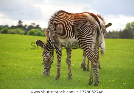 Zèbres manger herbe verte Safari parc alimentaire Photo stock © galitskaya