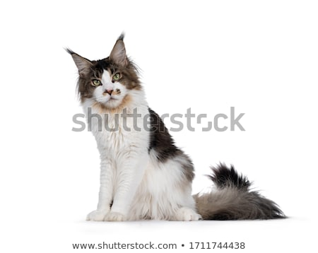 Knap zwarte witte Maine kat kitten Stockfoto © CatchyImages