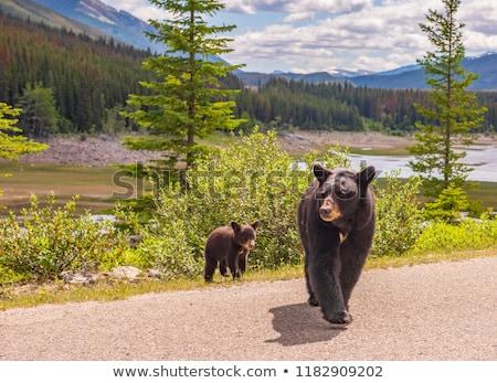 Bear in Jasper National Park in Canada Stock photo © benkrut