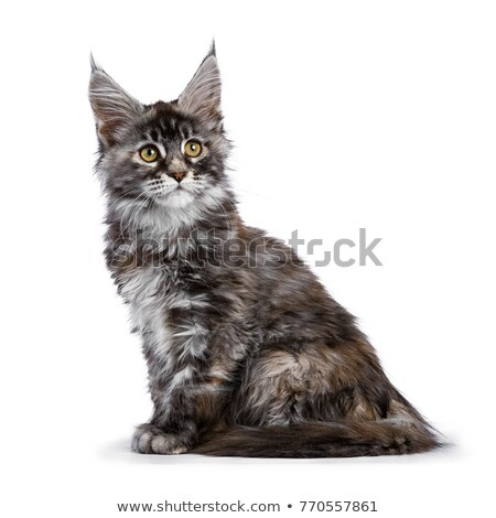 tortie multi colored maine coon kitten cat sitting sideways isolated on white background stock photo © catchyimages