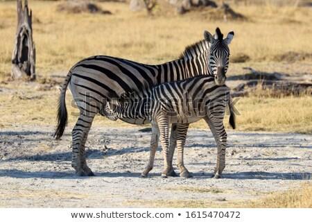 Baby Zebra suckling from his mother. stock photo © simoneeman