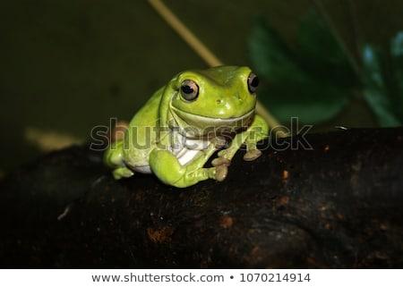 Stock photo: Dark Australian green tree frog on white