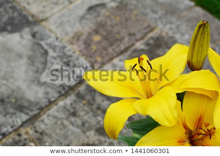 Bold yellow lily flowers on a stone patio  Stock photo © sarahdoow