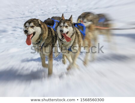 Sled dogs in speed racing, Moss, Switzerland Stock photo © Elenarts