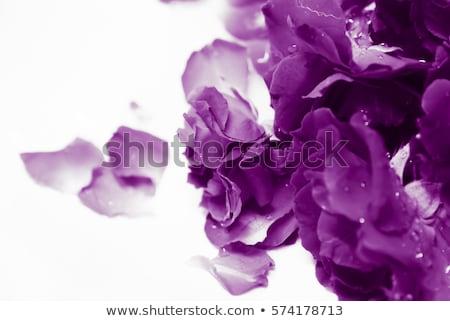 romantic purple rose stock photo © ivonnewierink